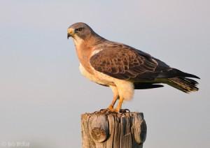 Fence Hawk