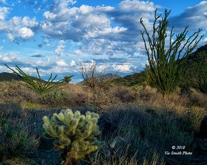 Cholla and Ocotillo
